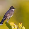 Eastern Kingbird, Merritt Island NWR