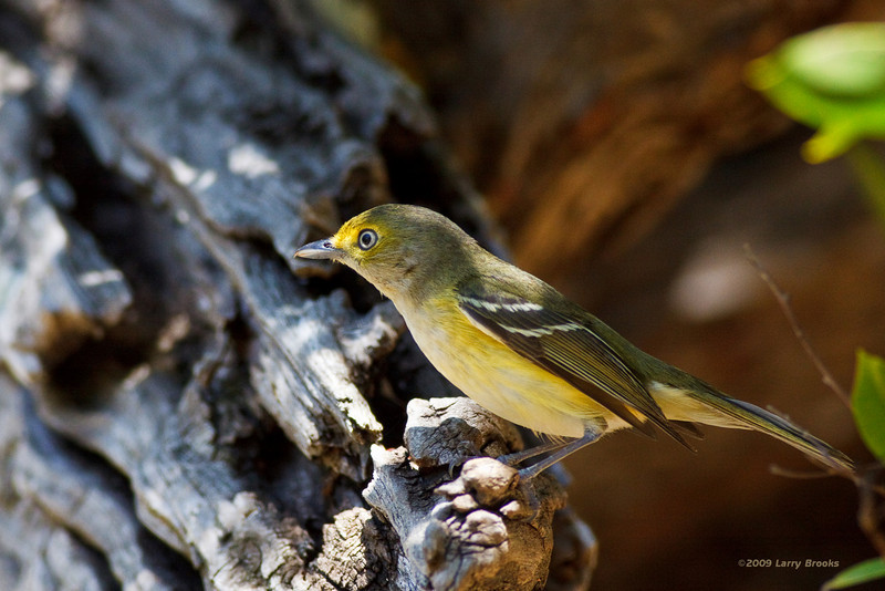 White-eyed Vireo hanging out at the Dry Tortugas