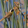 Common Yellowthroat, Viera Wetlands