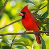 Northern Cardinal, Merritt Island NWR