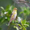 backyard American Goldfinch (juvenile)
