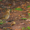 Hermit Thrush found on Big Talbot Island