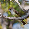 Great Crested Flycatcher, found at Long Key SP