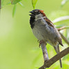 A House Sparrow makes himself heard at Gatorland