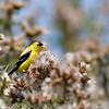 American Goldfinch at Marymoor Park (Seattle area)