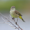 This Palm Warbler was found at Meritt Island NWR