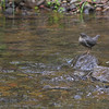 An American Dipper waits for a meal to pass by at Silver Falls, SP, Oregon