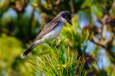 Eastern Kingbird, Assateague Island National Seashore