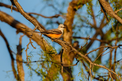 Scissor-tailed Flycatcher, San Angelo State Park (Texas)
