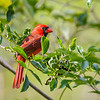 Northern Cardinal at Mead Gardens
