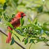 Northern Cardinal at Mead Gardens
