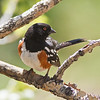 Spotted Towhee seen at Red Rocks Park (Denver area)