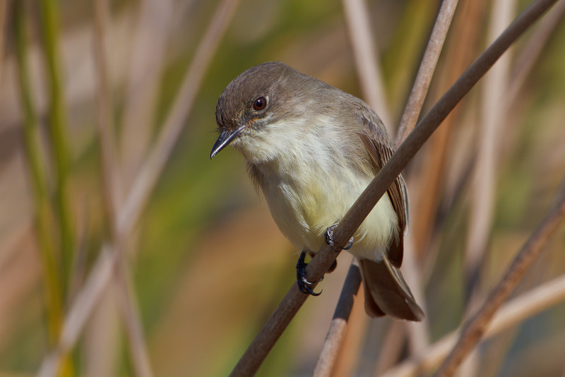 Eastern Phoebe, Viera Wetlands