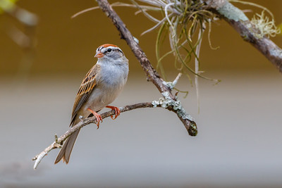 Chipping Sparrow, back yard in Casselberry