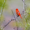 Summer Tanager, Big Bend National Park