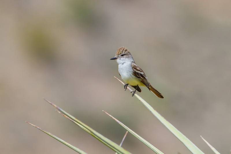Ash-throated Flycatcher, Big Bend National Park (Texas)