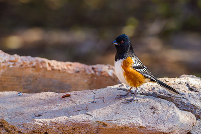 Spotted Towhee, Palo Duro Canyon State Park (Texas)