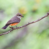 Vermilion Flycatcher (female) at Big Bend NP, Texas