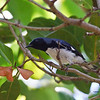 Black-throated Blue Warbler seen at Fort Zachary Taylor SP (Key West)