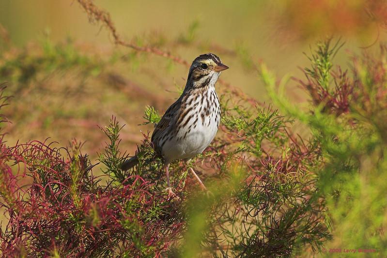 Savannah Sparrow seen at Three Lakes Wildlife Management Area.