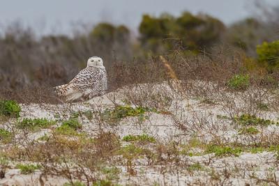 Snowy Owl, Little Talbot Island SP (Jacksonville)