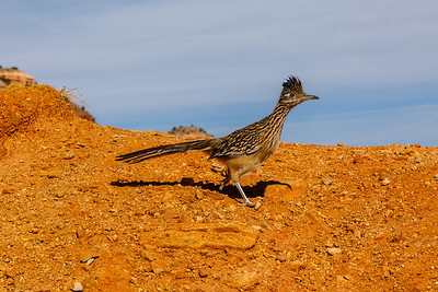 Greater Roadrunner on the run at Palo Duro Canyon State Park (Texas)