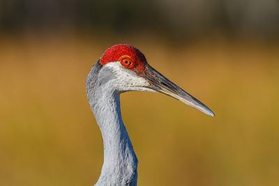 Sandhill Crane, Orlando Wetlands