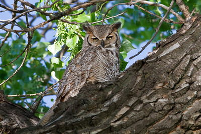 Great Horned Owl from the Denver suburbs