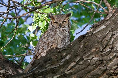 Great Horned Owl from the Denver suburbs
