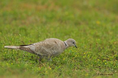 Eurasian Collared-dove found near St. Augustine