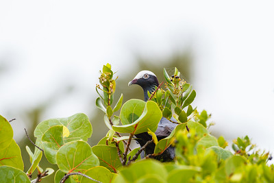 Shy White-crowned Pigeon trying to hide at Bahia Honda State Park
