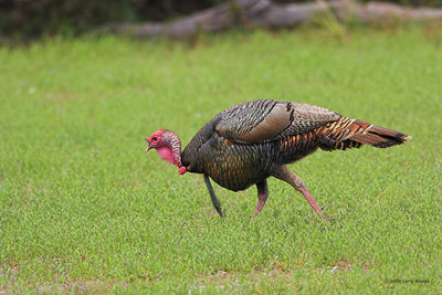 Wild Turkey on a cautious stroll at Cumberland Island NS