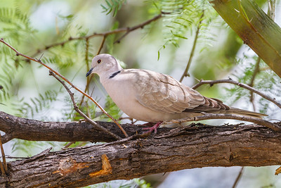 Eurasian Collard-Dove, Big Bend National Park (Texas)
