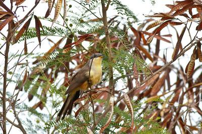 Mangrove Cuckoo, St John US Virgin Islands