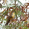 Mangrove Cuckoo, St John US Virgin Islands