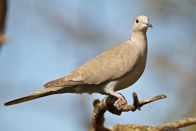 Eurasian Collared-dove, Okeeheelee Park (West Palm Beach)
