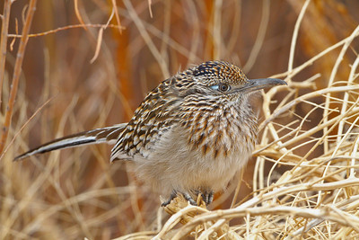 Greater Roadrunner, Bosque del Apache NWR, New Mexico