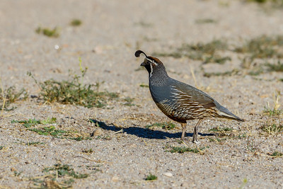 California Quail at Pinnacles National Park (California)