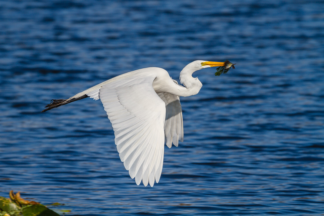 Great Egret with a prize, Lake Lotus Park (Altamonte Springs)