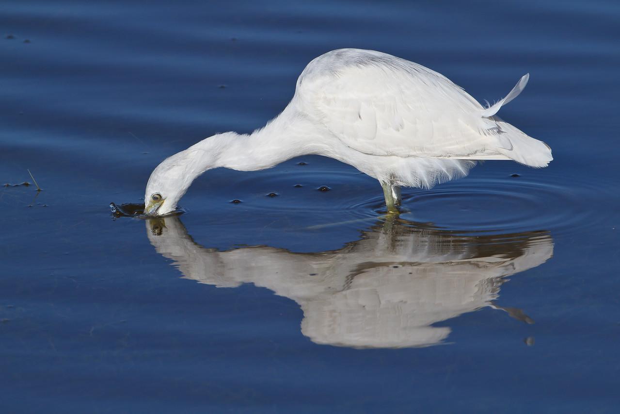 Little Blue Heron, Viera Wetlands