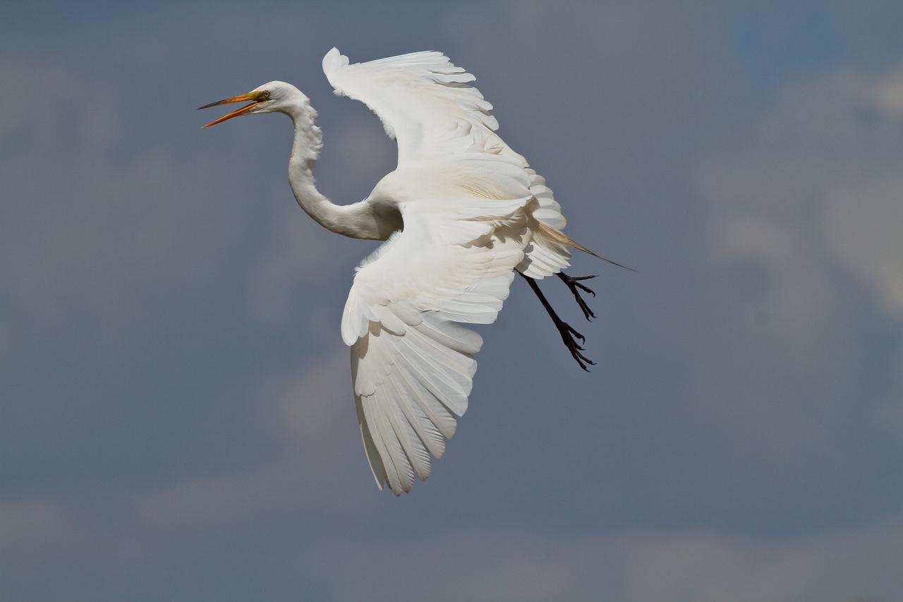 Great Egret in flight over Gatorland