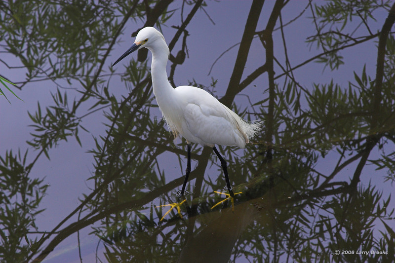 Snowy Egret wades amongst the reflections at Gatorland.