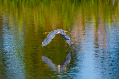 Tricolored Heron, Celery Fields