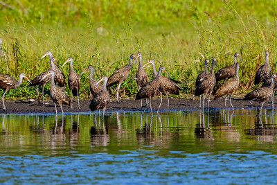 Limpkin gathering at Myakka River SP