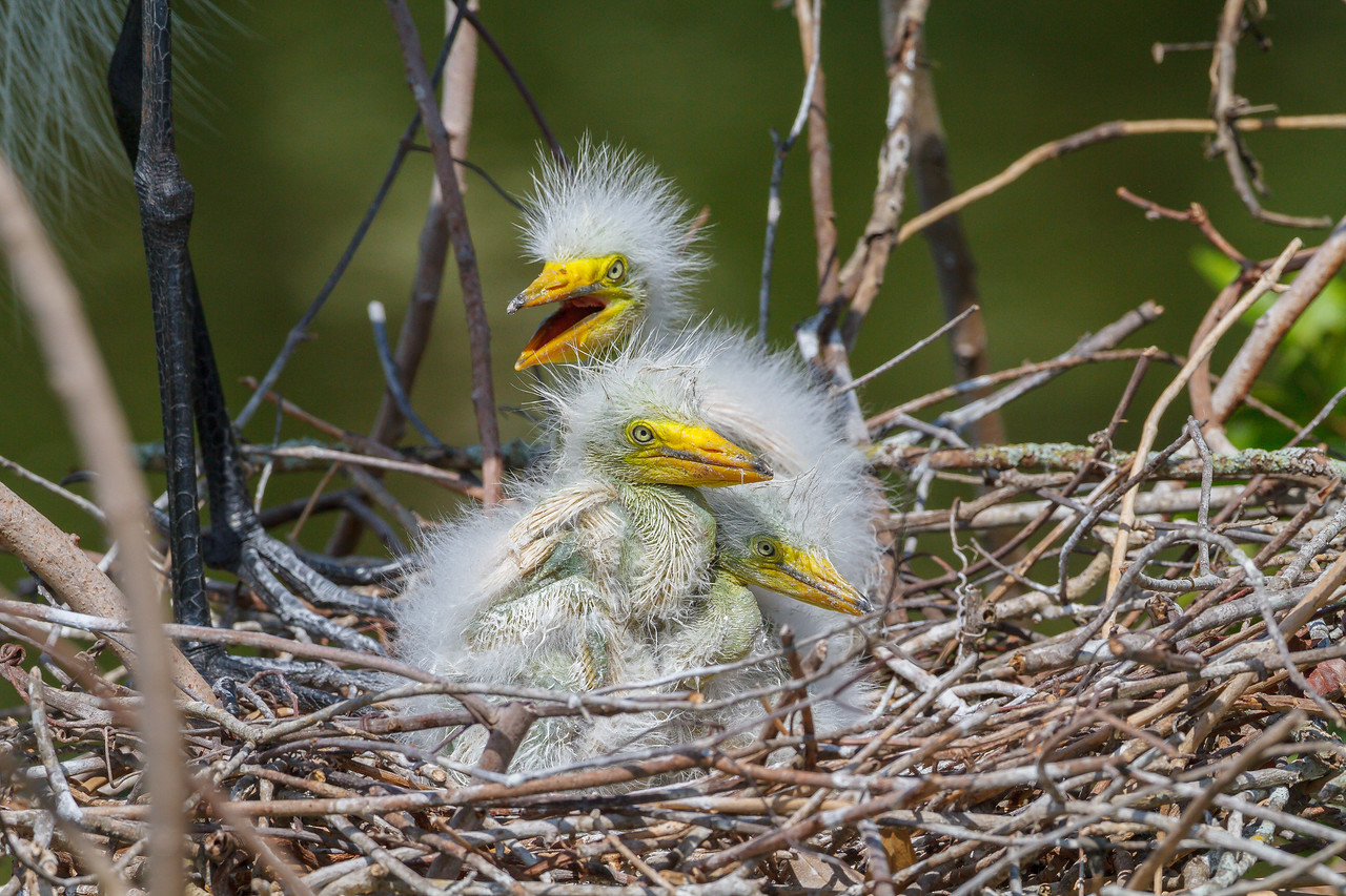Fresh Great Egret chicks at Gatorland.