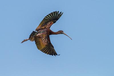 Glossy Ibis, Merritt Island NWR