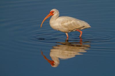 White Ibis, Merritt Island NWR