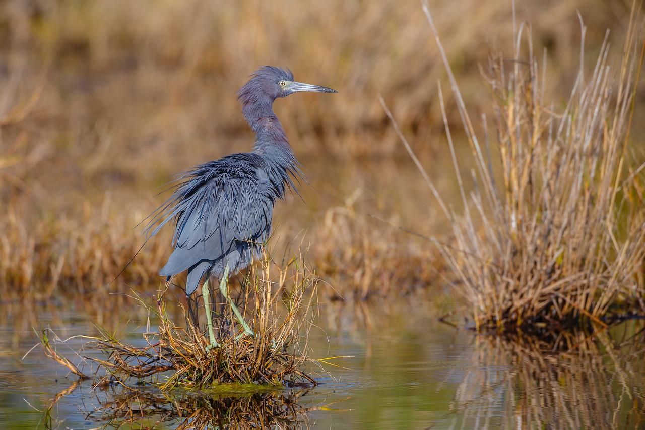 Little Blue Heron all fluffed out, Merritt Island NWR