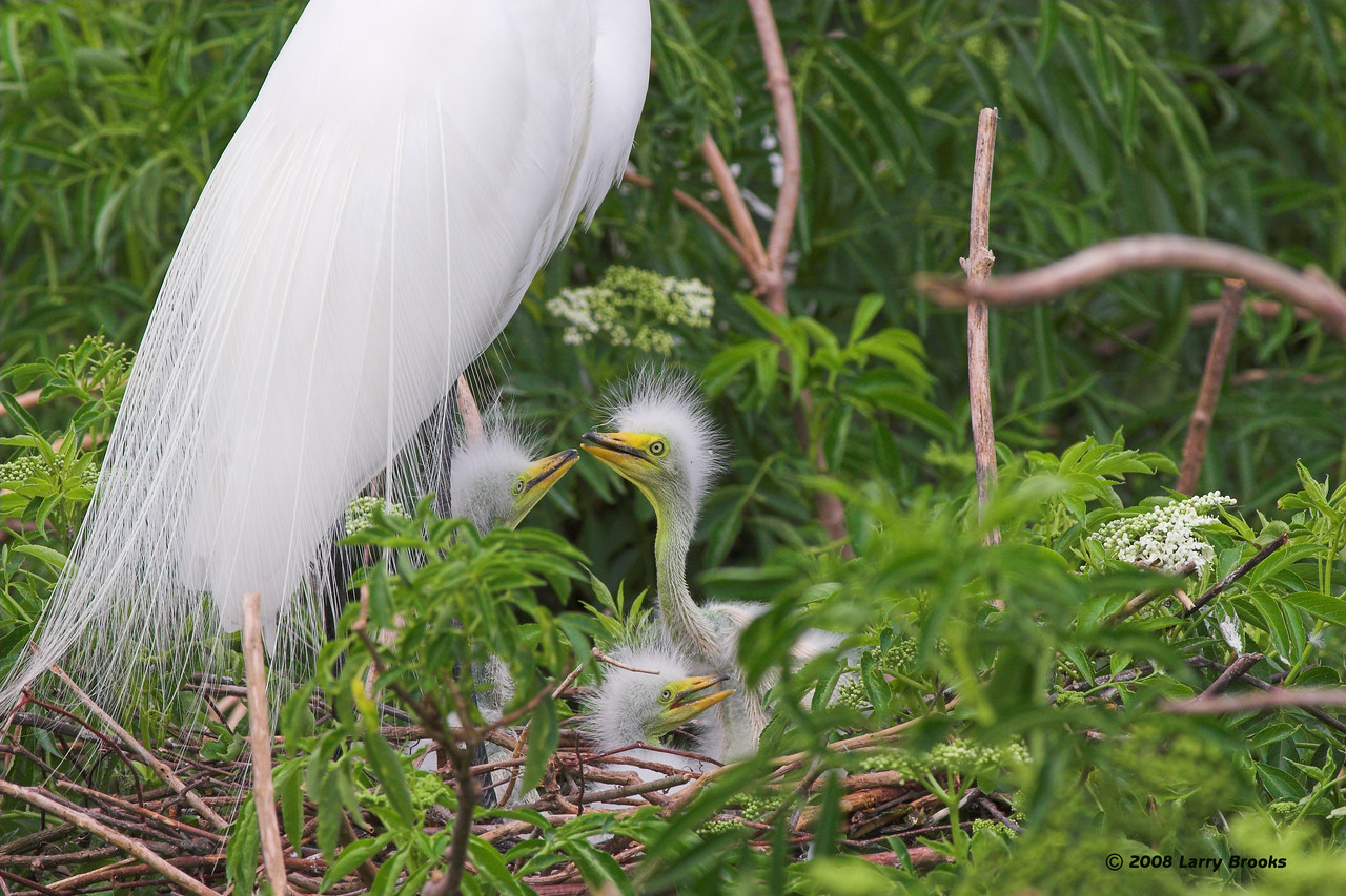 A Great Egret with 3 hungry chicks, found at the Gatorland rookery.