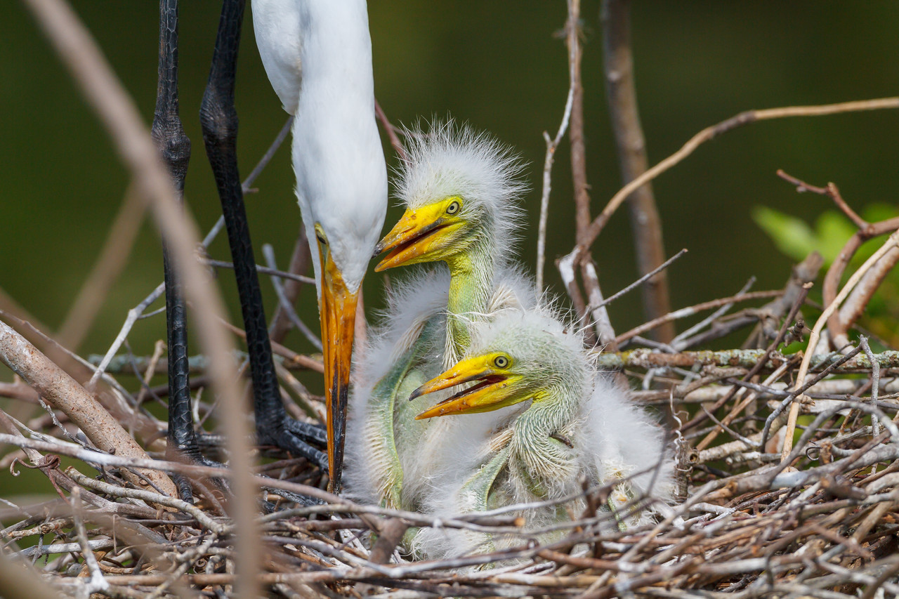 A mother Great Egret tends to her chicks at Gatorland.